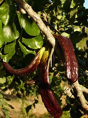 Carob Pods On A Carob Tree (by calafellvalo Flickr)